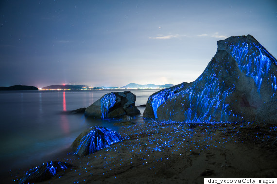 Large stones on the beach in Okayama, Japan appear to weep as bio-luminescent shrimp leave light trails in the night.